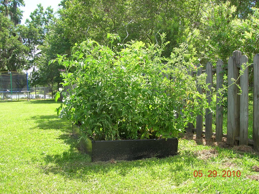 These Are My Tomatoes Gone Wild. Normally, Tomatoes Should Be Spaced 2 To 3  Feet Apart. The Square Foot Garden System I Followed Seemed To Think You  Can ... Photo